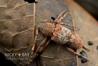 Longhorn Beetle (Pterolophia melanura) - DSC_8952
