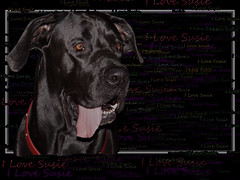 animal, dog, pet, mammal, cane corso, guard dog,