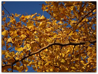 """Ginkgo leaves are uniquely fan shaped."""