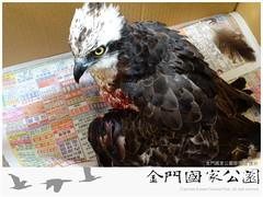 魚鷹救傷(20131204)-01