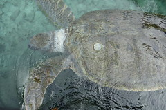 fish(0.0), common snapping turtle(0.0), leatherback turtle(0.0), animal(1.0), turtle(1.0), reptile(1.0), loggerhead(1.0), marine biology(1.0), fauna(1.0), sea turtle(1.0),