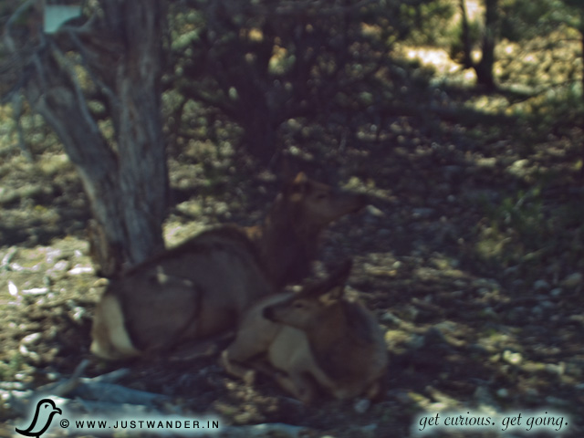 PIC: Mule Deers at the Grand Canyon