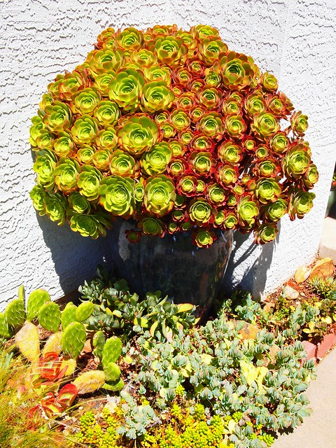Aeonium Big Blue Pot June 2011
