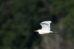 Garza Ganadera, Cattle Egret, Bubulcus ibis per Amado Demesa a Flickr