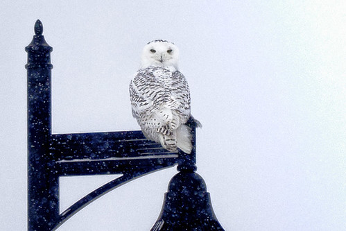 1-14 Snowy Owl-0276-Edit-1