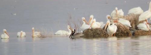 Brown Pelican @ Brantley Lake