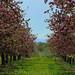 Pommiers en fleurs Rougemont IMG_2983