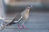 White-winged Dove_AZ_Maricopa_05_14a