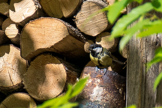 DSC_0563 Great tit nesting