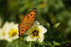 Peacock Pansy
