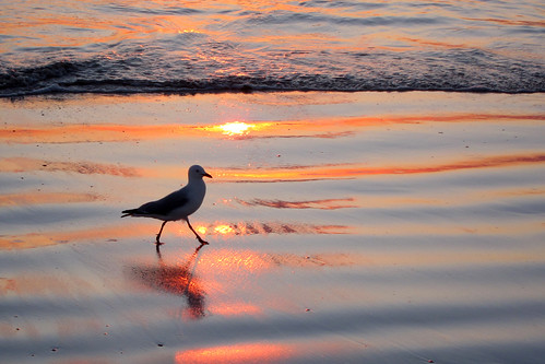 ocean sunset beach seagull lancelin