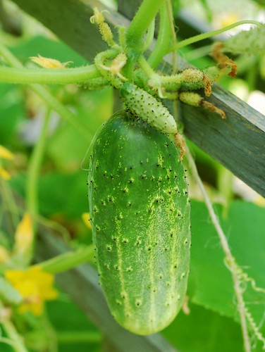 One of our cucumbers on the vine by Eve Fox, the Garden of Eating, copyright 2014