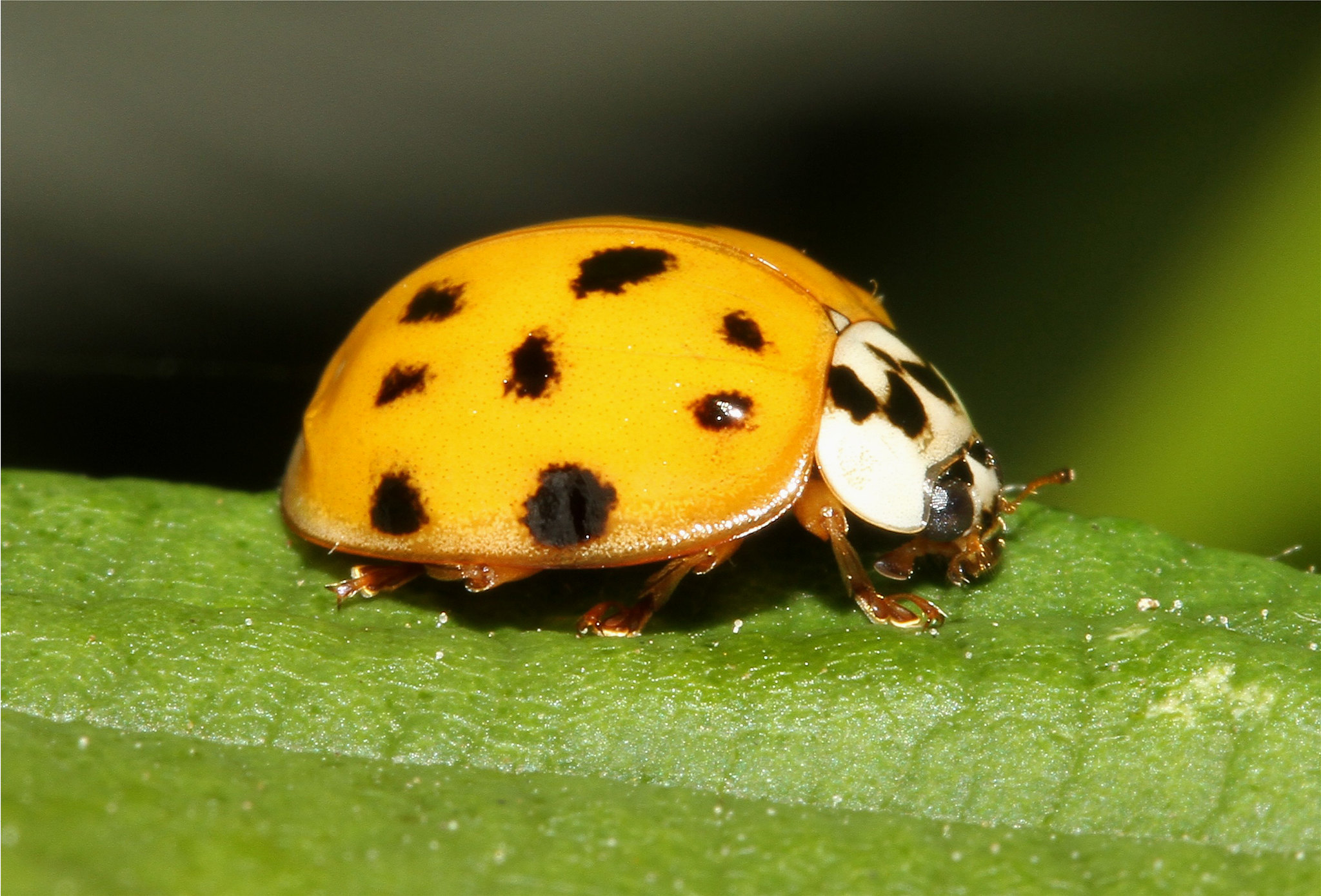 Harmonia axyridis (Multi Coloured Asian Lady Beetle)