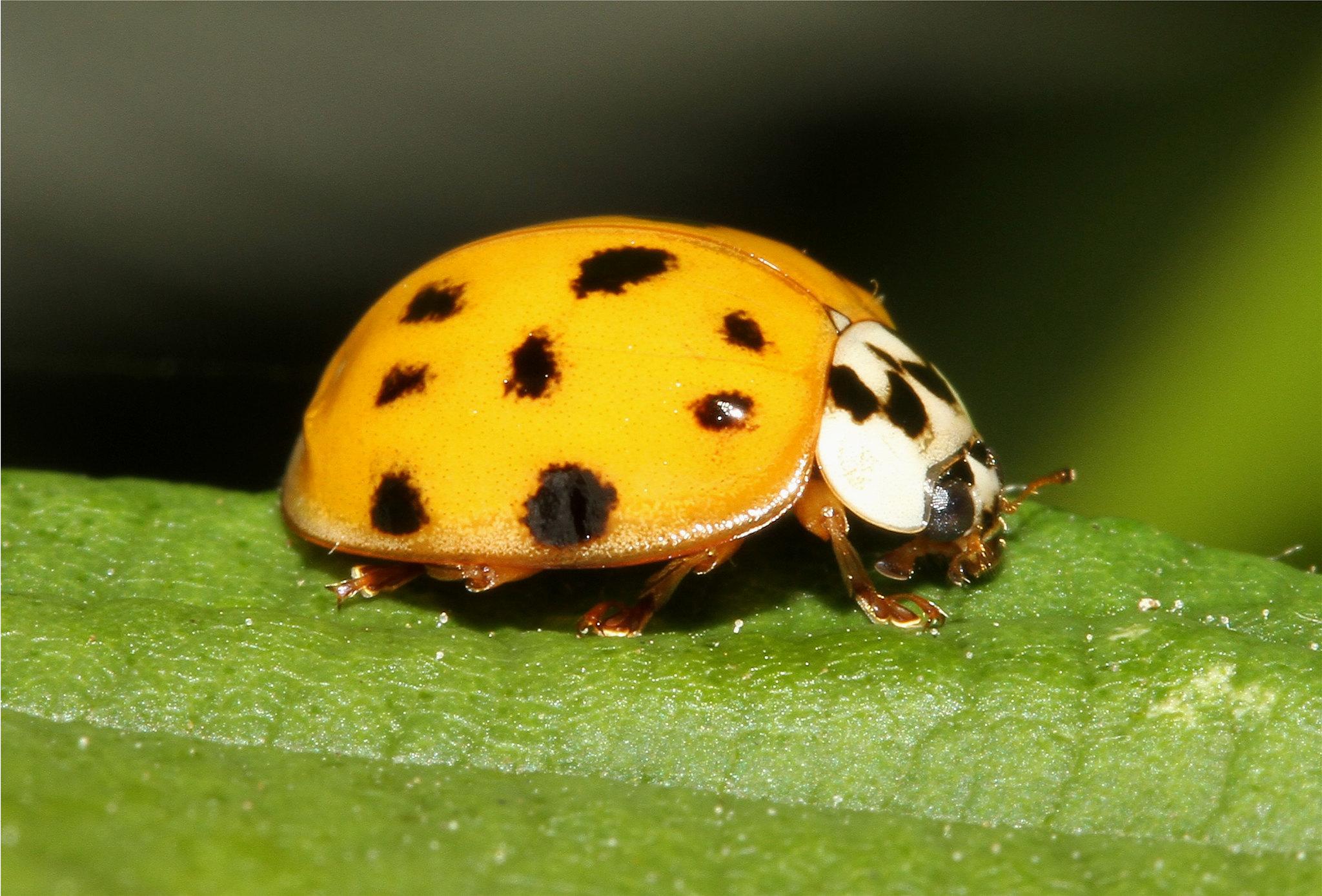 Harmonia axyridis (Multi Coloured Asian Lady Beetle)
