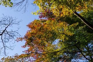 枝先の葉が色づくカエデ・・・見頃はまだ早い