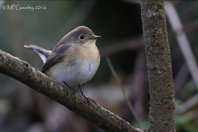 Red-breasted Flycatcher (M.Goodey)