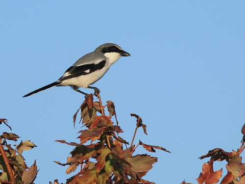 Loggerhead Shrike on Red Maple 20161117