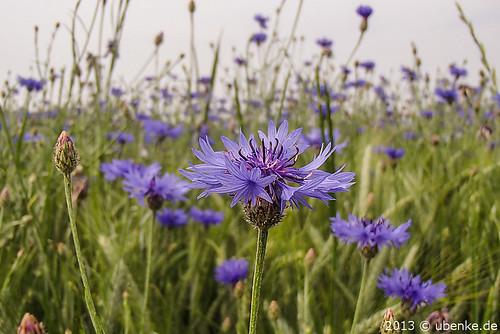 _kornblumenblau by l--o-o--kin thru