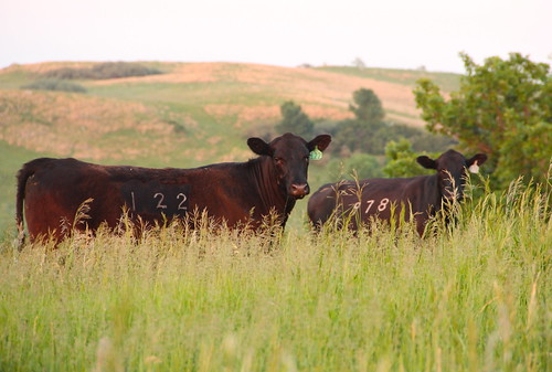 June 21, 2013. Summer cows
