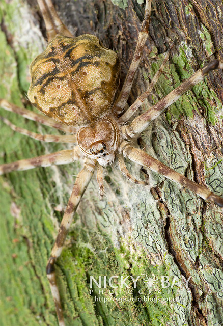 Two-Tailed Spider (Hersiliidae) - DSC_7204