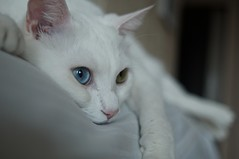 kitten(0.0), whiskers(0.0), nose(1.0), animal(1.0), turkish van(1.0), white(1.0), khao manee(1.0), small to medium-sized cats(1.0), skin(1.0), pet(1.0), mammal(1.0), burmilla(1.0), turkish angora(1.0), close-up(1.0), cat(1.0), balinese(1.0),