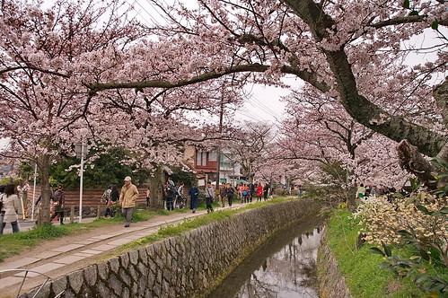 【写真】桜 : 哲学の道