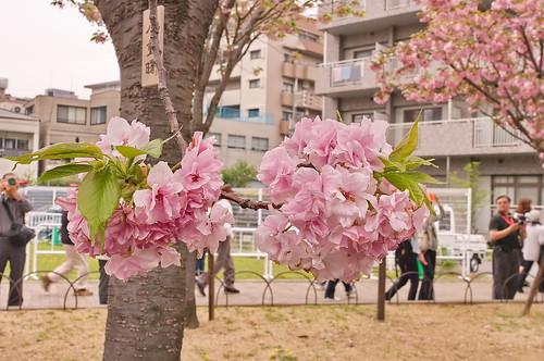 【写真】桜 : 造幣局
