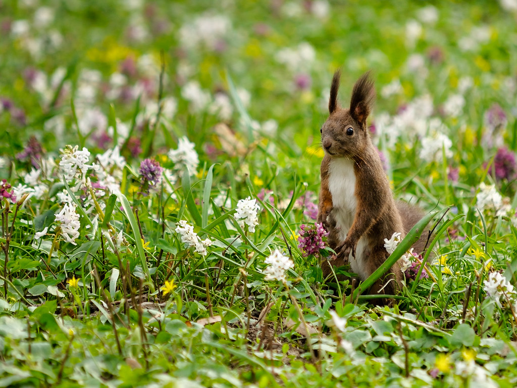 Squirrel among the hyacinths