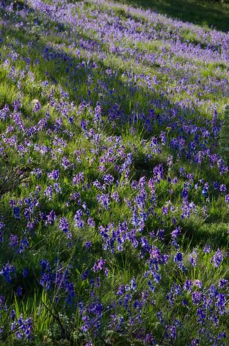 blue montana wildflower delphinium larkspur delphiniumbicolor