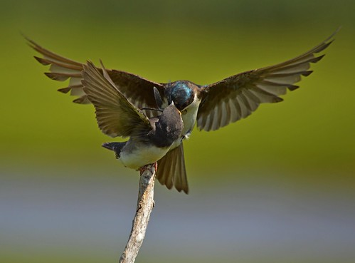 Tree Swallow Feeding its Young