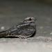 Noitibó-da-Europa - Caprimulgus europaeus - European nigthjar