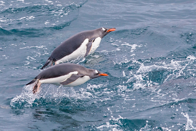 Porpoising Gentoo Penguins, Cooper Bay, South Georgia Island