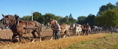 Plumieux - Fête des battages - ploughing with horses