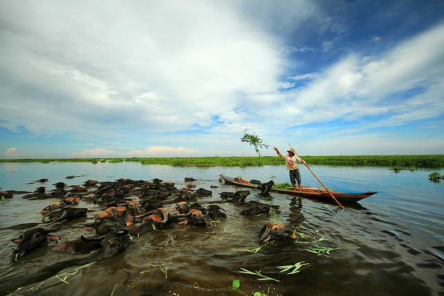 Swamp Buffalo