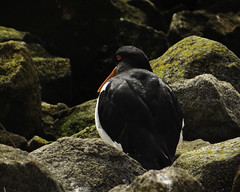 Pied Oystercatcher at Rest, Lindisfarne
