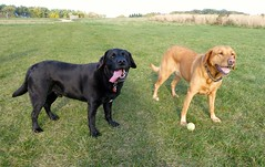 broholmer(0.0), boerboel(0.0), dog breed(1.0), animal(1.0), dog(1.0), tosa(1.0), pet(1.0), guard dog(1.0), carnivoran(1.0),