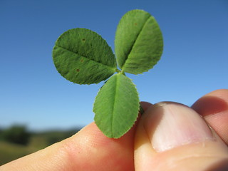 Trifolium semipilosum leaf8