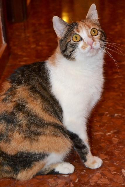 Jaspe, maravillosa tricolor de ojos cobrizos esterilizada nacida en Abril´11, necesita adopción. Valencia. ADOPTADA.  10903177973_d902979670_z