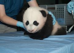 Giant Panda Cub Nov. 22, 2013
