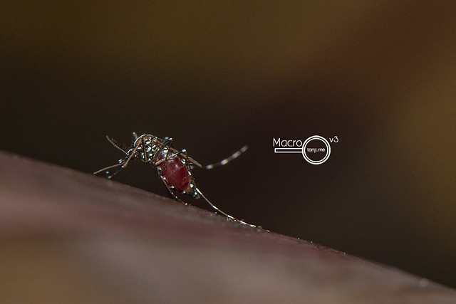 A Full Aedes sp. Mosquito