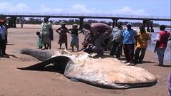 肯亞漁民取鯨鯊肝油,翻拍自EAWST影片