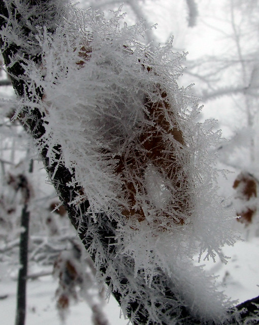 ice-fogged leaf