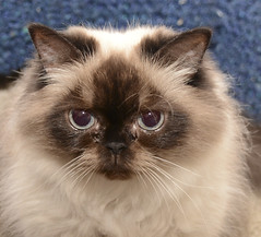 domestic long-haired cat, animal, british semi-longhair, small to medium-sized cats, pet, ragdoll, cat, carnivoran, whiskers, birman, himalayan,
