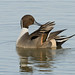 Pintail by Gary Faulkner's wildlife photography