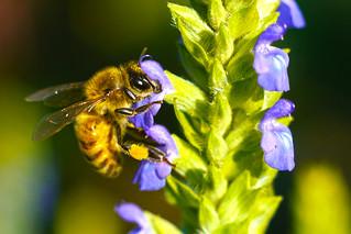 Honey bee on Chia 2