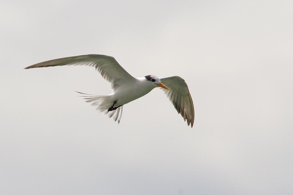 Lesser Crested Tern 2013-12-03