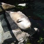 A sea lion in the Boston Aquarium