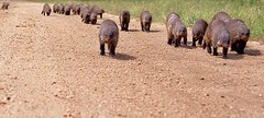 A pack of mongeese on the march