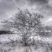 Frosted Apple Tree by lomeranger