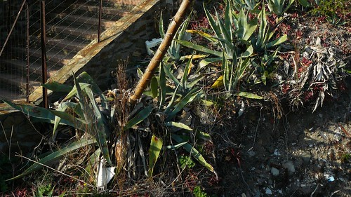 agave 2011 les rejetons ont quasiment recouvert la vieille rosette désséchée